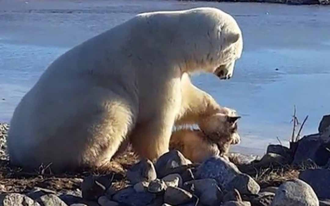 كندا.. دب قطبي يلاطف كلبا كبشر