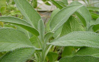 اكتشفي 4 منافع صحية لنبتة السالمية