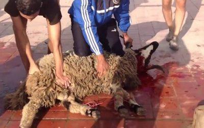 القضاء البلجيكي ينتصر للمسلمين ويسمح بذبح أضاحي العيد