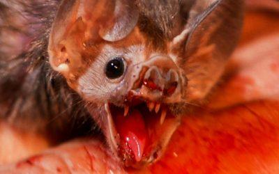 علماء يكشفون حقيقة مثيرة عن الوطاويط مصاصة الدماء