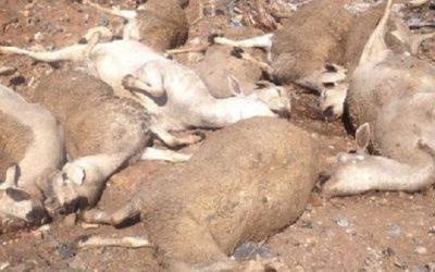 مرض خطير يأتي على الماشية بضواحي أزيلال