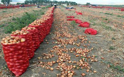 وزارة الفلاحة: الأسعار ستعود إلى وضعها الطبيعي مع الدخول التدريجي لإنتاج البصل
