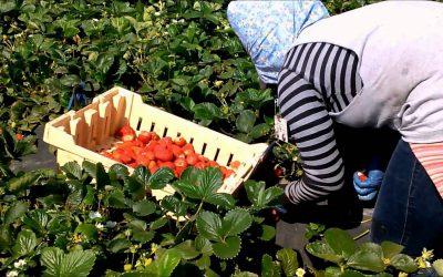 الحكومتين  المغربية والاسبانية تقران بتحسين مستوى تدبير موسم جني الفراولة