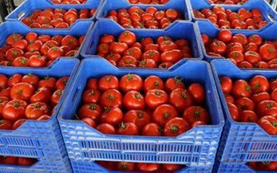 صادرات المغرب من الطماطم نحو أوروبا تتجاوز حجم الكوطا