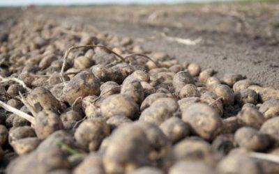"""""""اونسا"""" تتلف ما يناهز 136 طن من البطاطس """"السامة"""""""