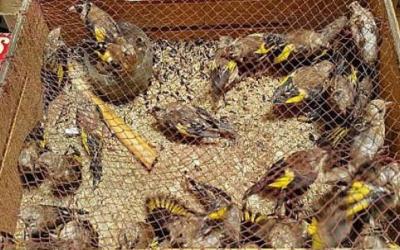 """إحباط محاولة تهريب أزيد من 1600 من """"طيور الحسون الأنيقة"""" بوجدة"""