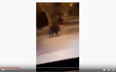 خنازير برية تتجول بالقرب من أحد أرقى أحياء العاصمة الرباط (+فيديو)