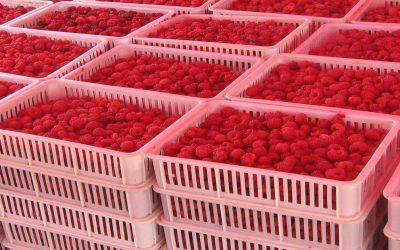 المغرب يستعد لتصدير توته إلى الأسواق الأمريكية