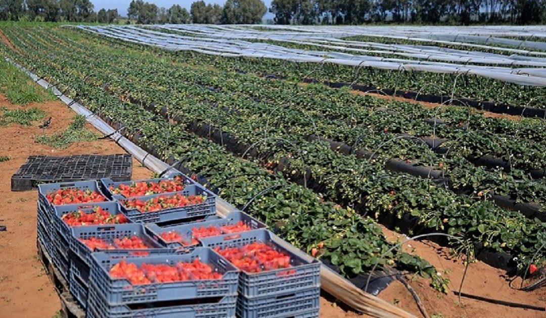 """""""كومادير"""": المستثمرين في قطاع الفواكه الحمراء يستحقون الاعتراف والتشجيع"""